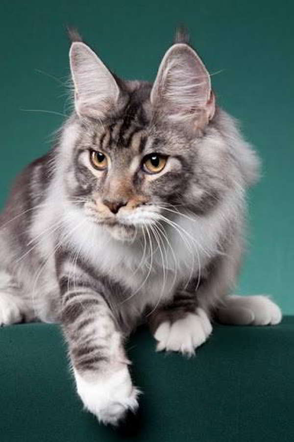 Maine coon kittens northern california for sale