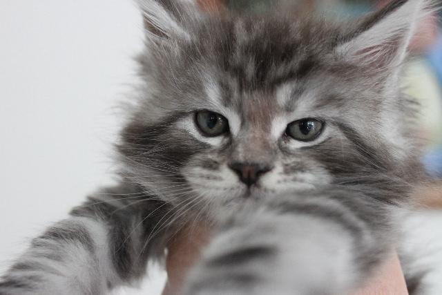 Silver grey tabby maine coon